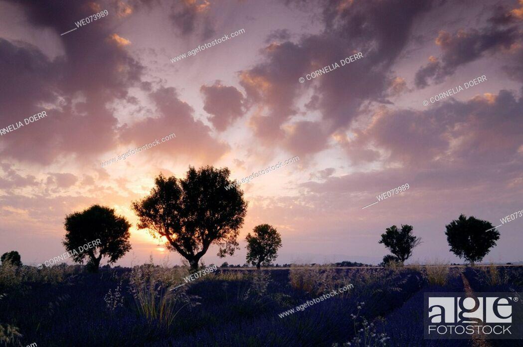 Stock Photo: Walnut trees in Lavender field at sunset, (Lavandula), Plateau de Valensole, Puimoisson, Provence, France.