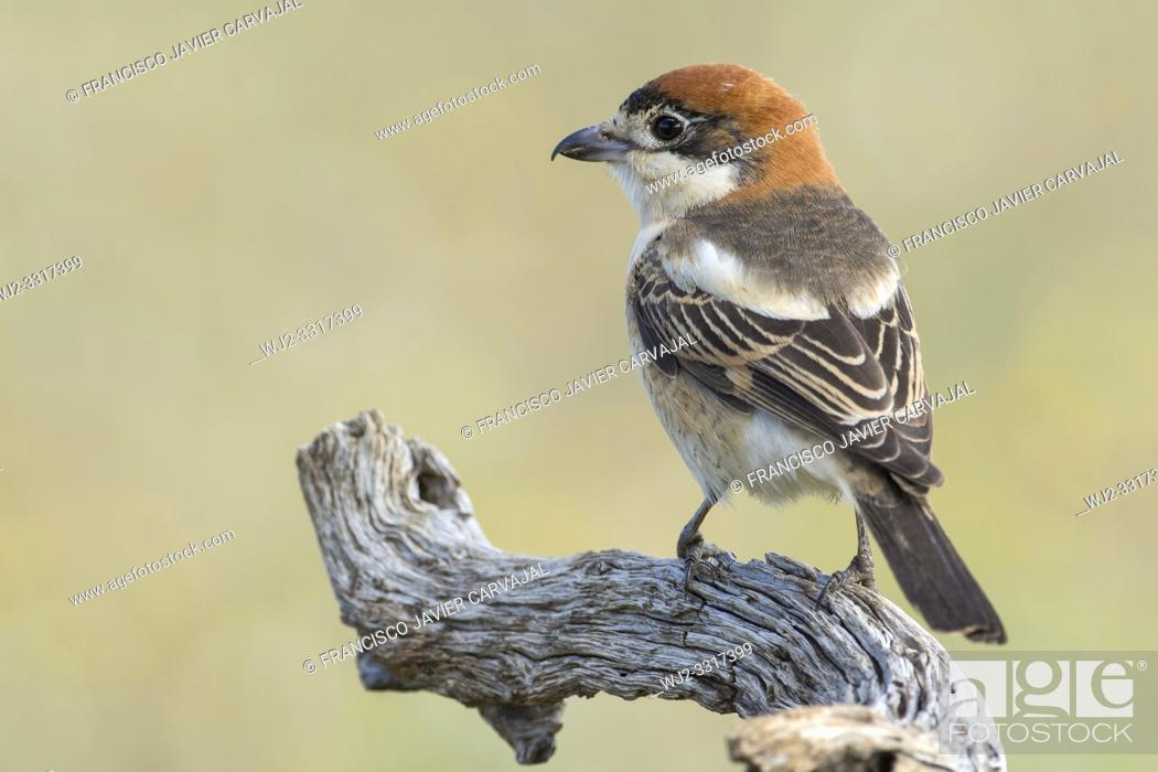 Imagen: Woodchat shrike (Lanius senator) from his watchtower in the meadow, Extremadura, Spain.