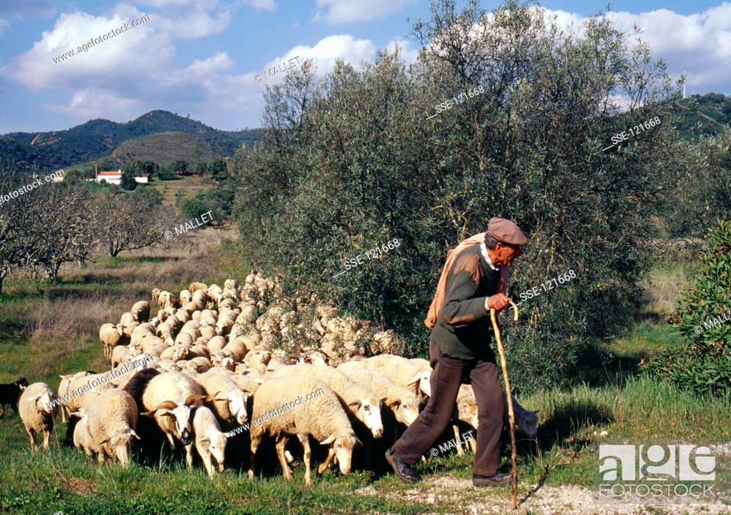 Stock Photo: Shepherd leading his flock.