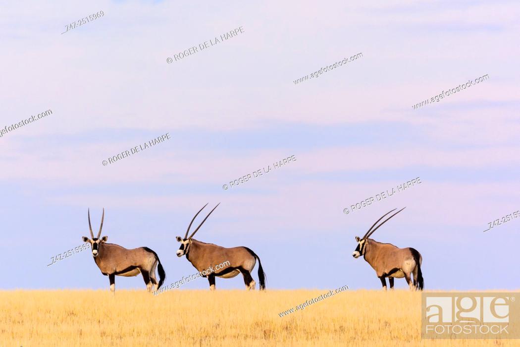 Stock Photo: Gemsbok or gemsbuck (Oryx gazella). Desert Rhino Camp. Palmwag Concession. Namibia.