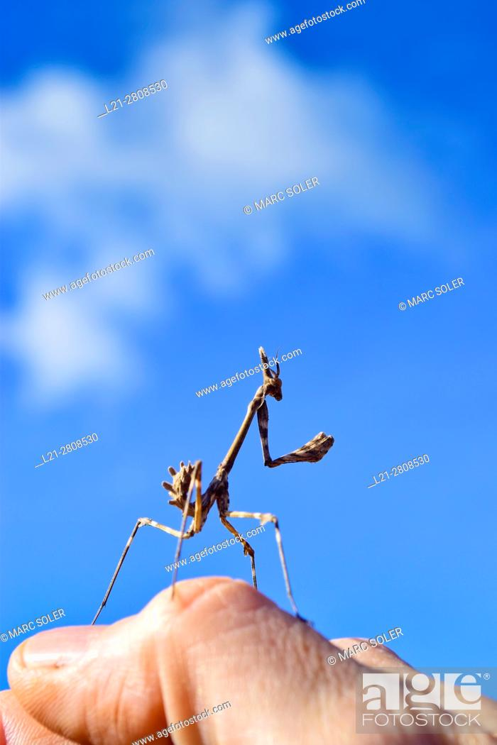 Stock Photo: Stick insect on a hand. Blue sky. Catalonia, Spain.