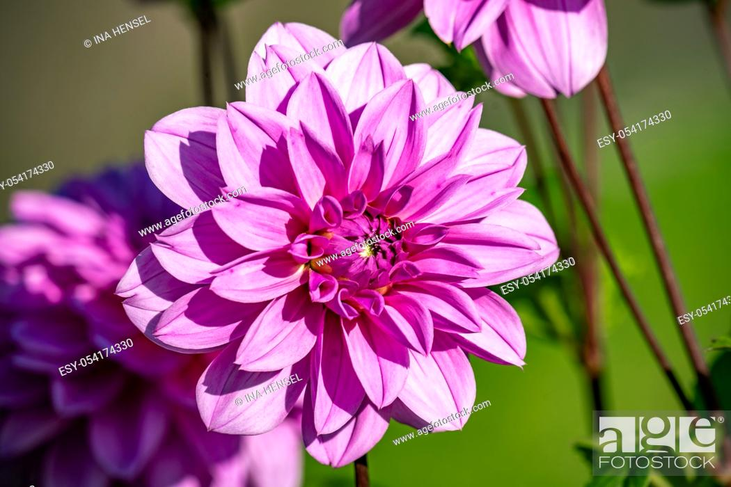 """Stock Photo: Detailed close up of a beautiful pink """"""""Lilac time"""""""" dahlia flower blooming in bright sunshine."""