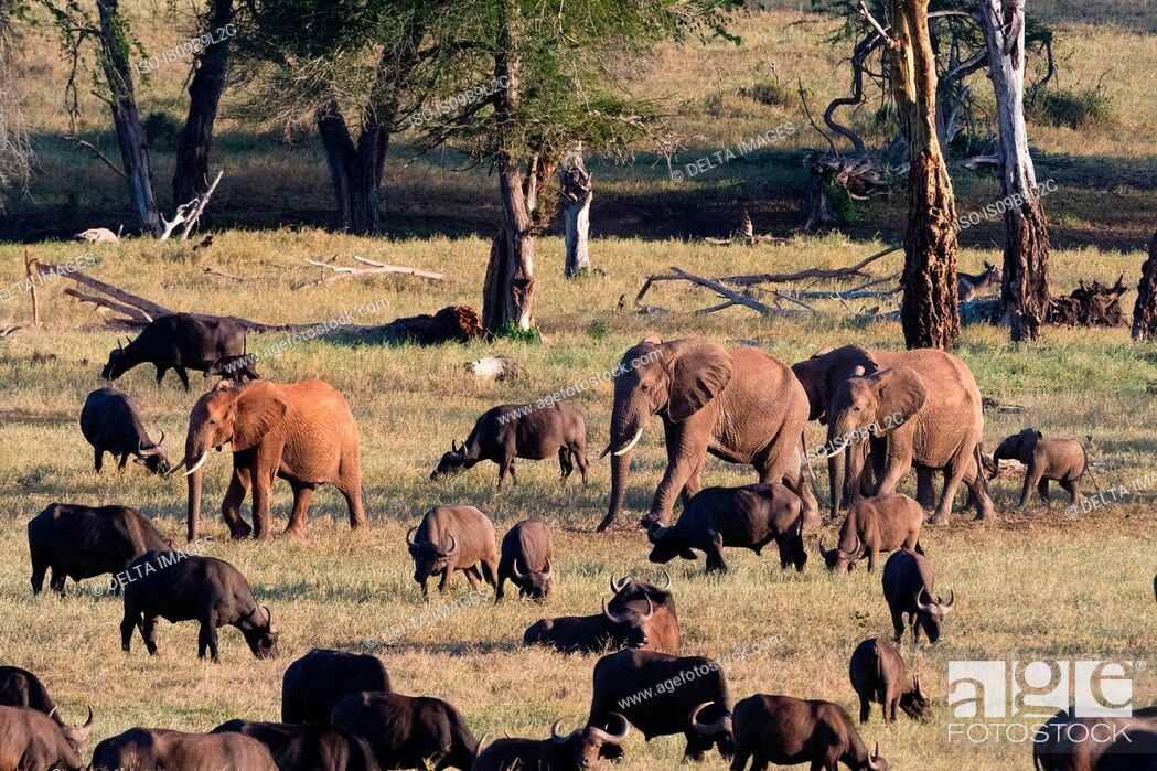 Stock Photo: Herd of African elephants (Loxodonta africana), walking on a plain to reach waterhole, Tsavo, Kenya, Africa.
