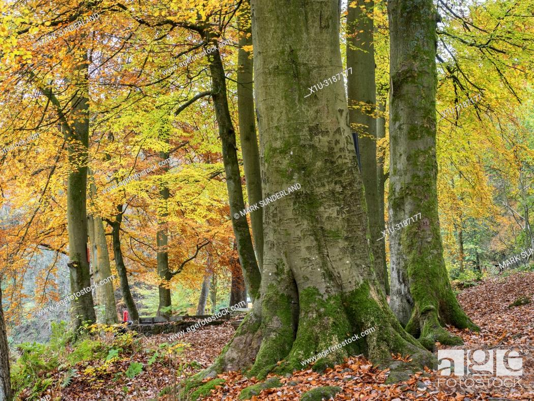 Stock Photo: Beech trees in autumn in Strid Wood at Bolton Abbey Yorkshire Dales England.