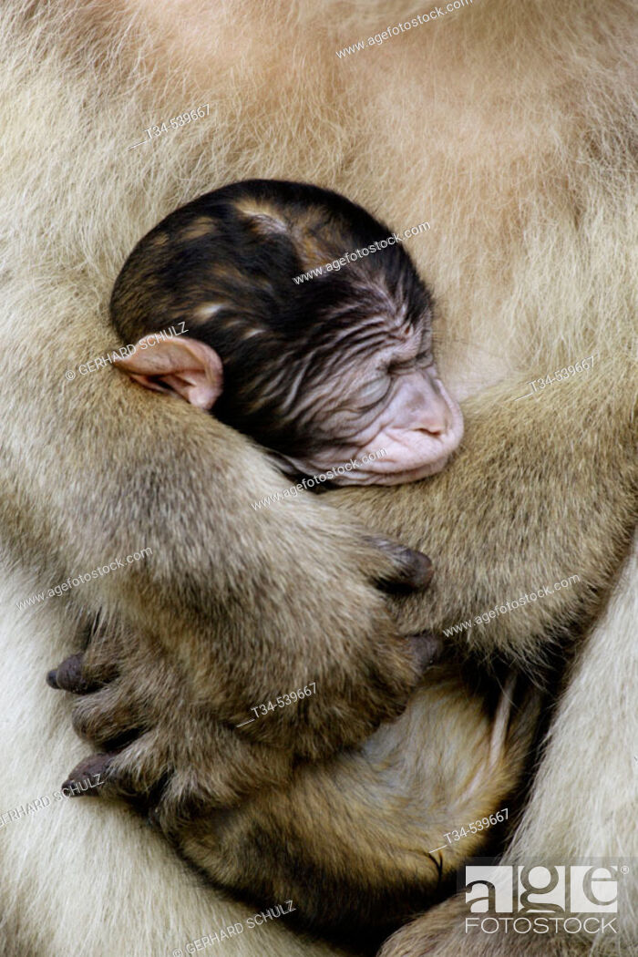 Stock Photo: Barbary Macaque with Baby (Macaca sylvana).