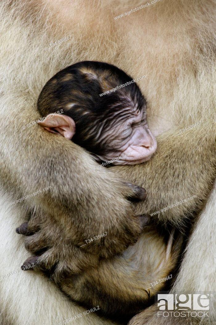 Stock Photo: Barbary Macaque with Baby (Macaca sylvana).