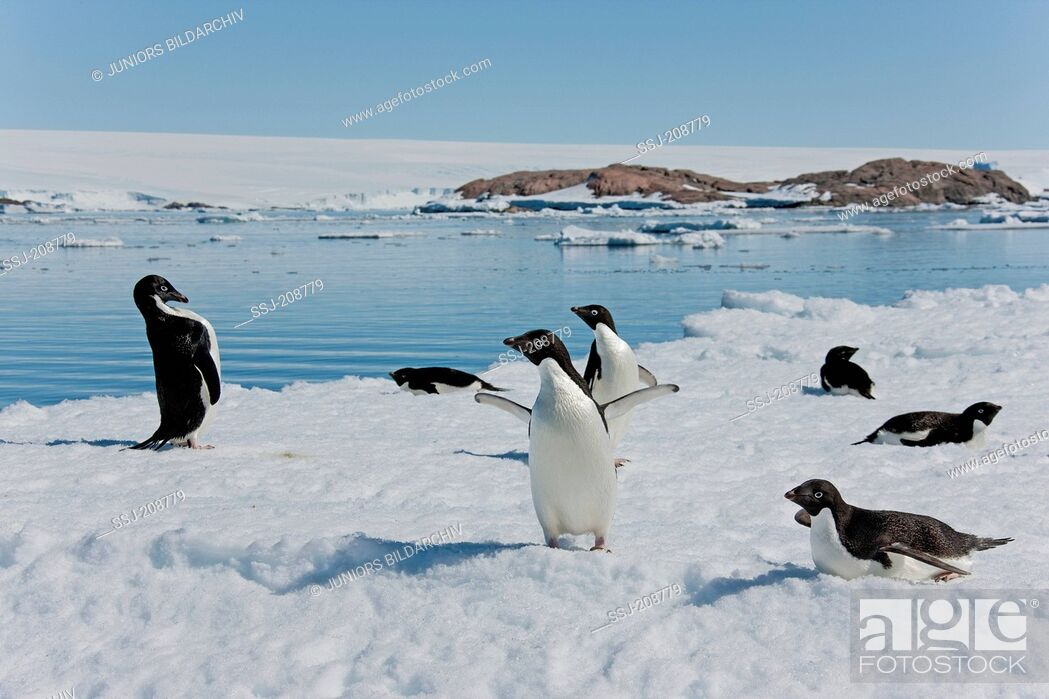 Imagen: Adelie Penguin (Pygoscelis adeliae). Group standing on ice at the coast. Antarctica. No exclusive sales !.