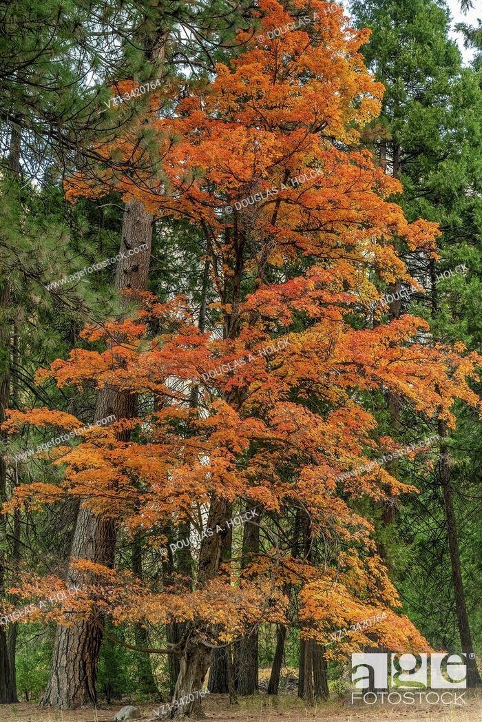 Imagen: Fall Colors of Sugar Maple in Yosemite National Park CA USA World Location.