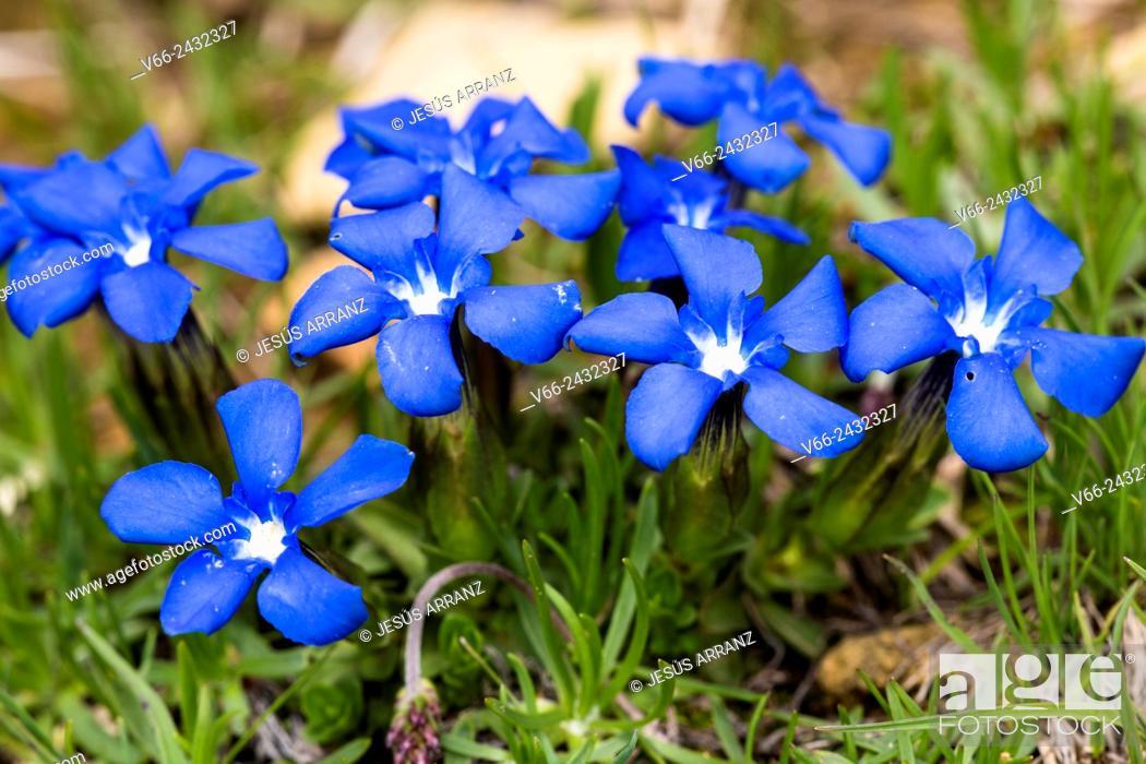 Imagen: Spring gentian Gentiana verna.