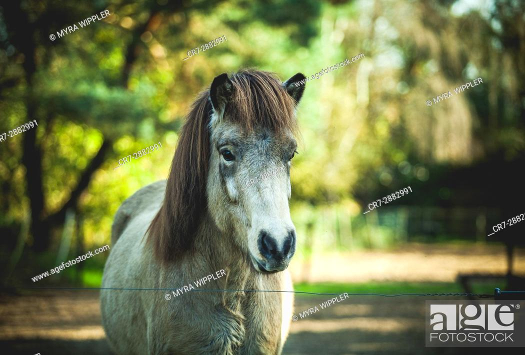 Stock Photo: Colorful Icelandic horse.