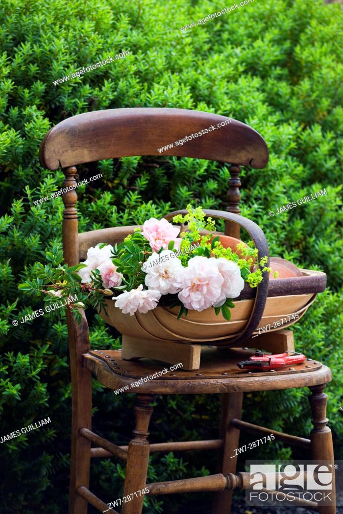 Stock Photo: Roses in wooden trug bascket on vintage wooden chair.