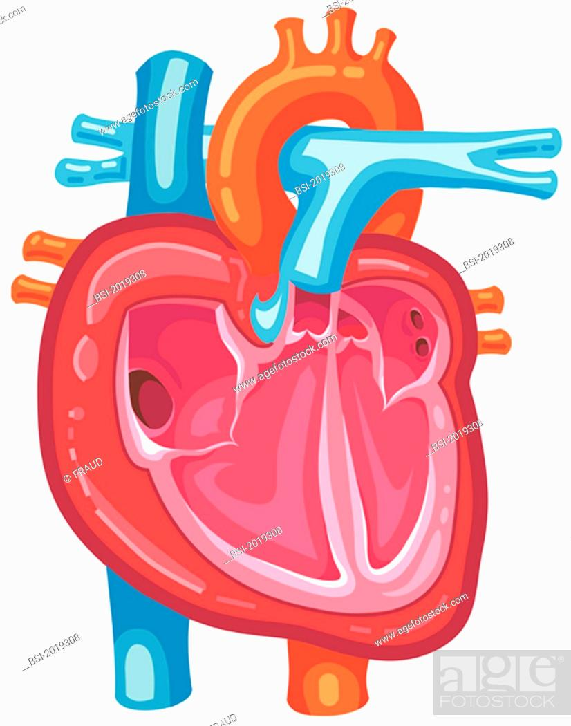 Representation Of The Heart With The Superior And Inferior Vena