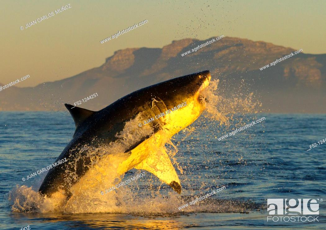 Stock Photo: Great White Shark (Carcharodon carcharias), False Bay, South Africa.