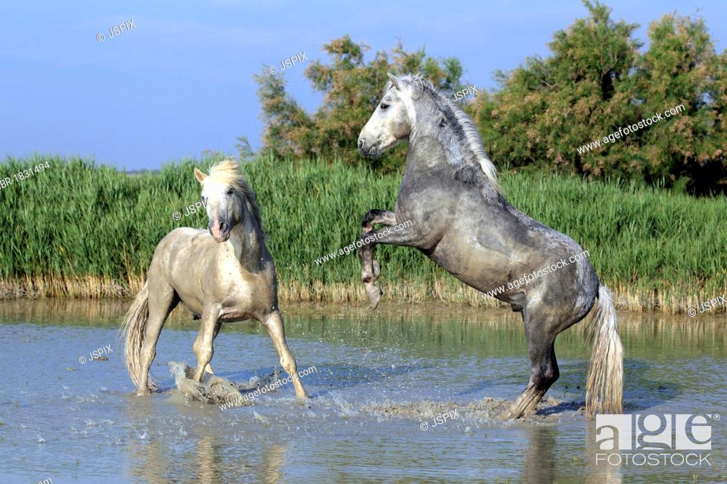 Stock Photo: Camargue horses (Equus caballus), two stallions fighting in water, Saintes-Marie-de-la-Mer, Camargue, France, Europe.