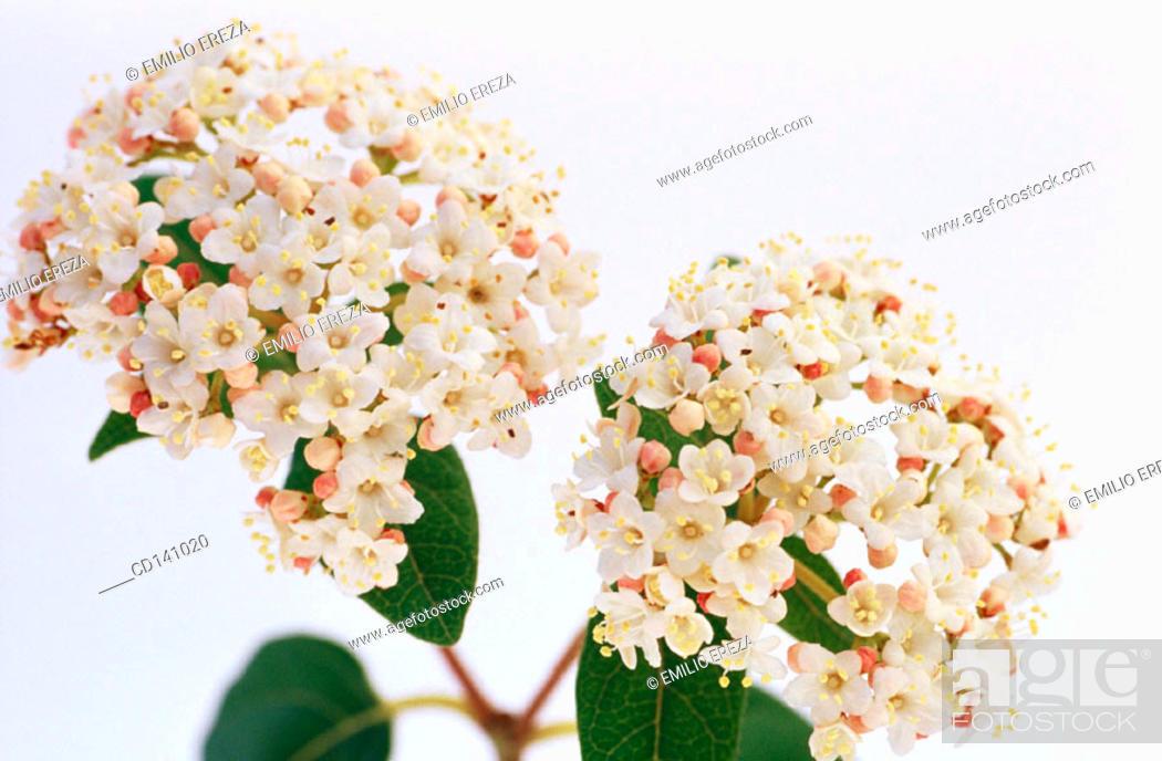 Stock Photo: Laurustinus (Viburnum tinus).