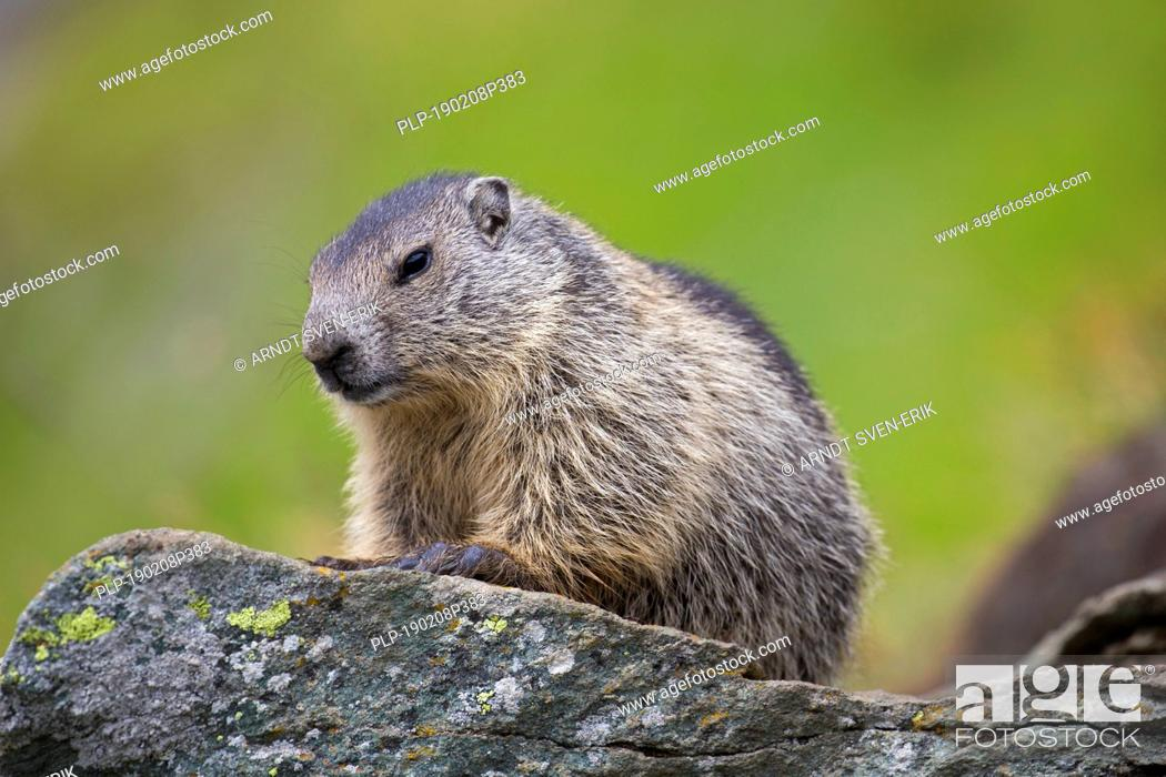 Stock Photo: Alpine marmot (Marmota marmota) juvenile on rock in alpine pasture in summer, Hohe Tauern National Park, Carinthia, Austria.