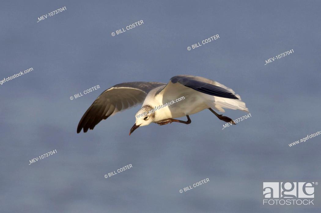 Stock Photo: Laughing Gull - scratching in flight (Larus atricilla).