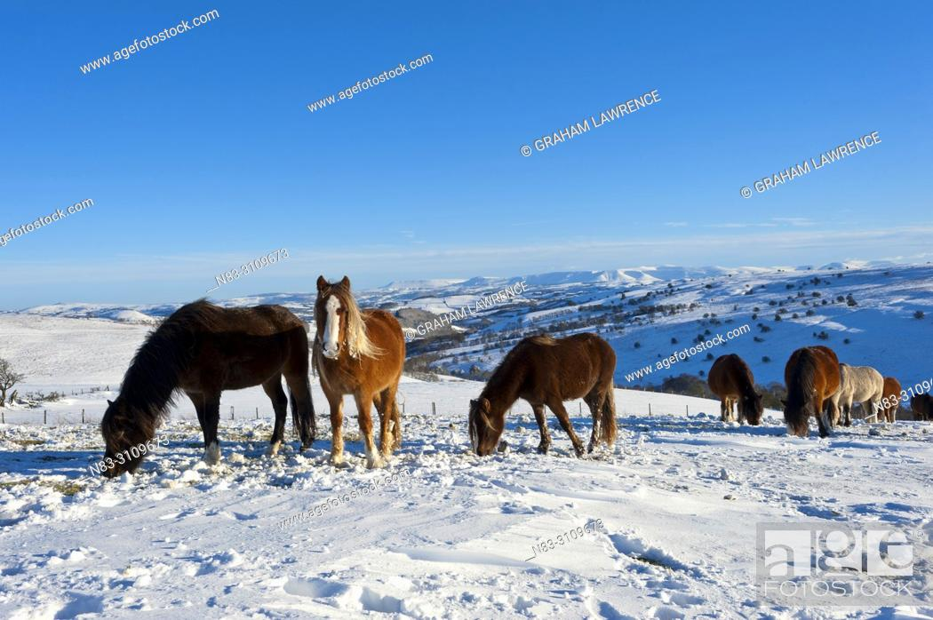 Stock Photo: Welsh Mountain Ponies in the snow on the Mynydd Epynt moorland, Powys, Wales, UK.