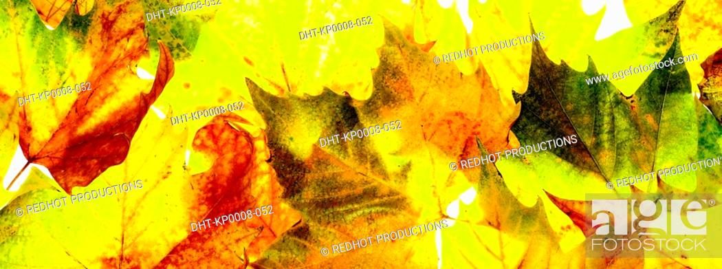 Stock Photo: Various Autumn Leaves.