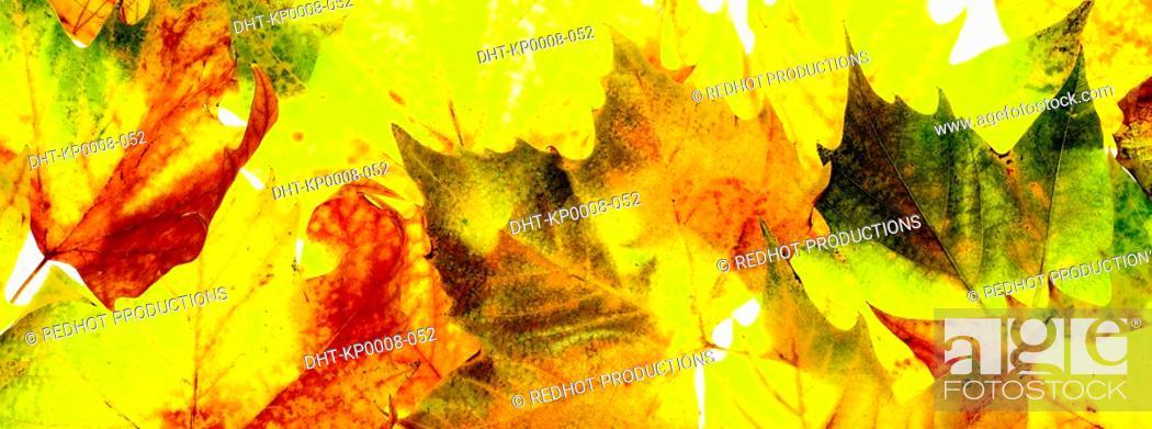 Stock Photo: Various Autumn Leaves.