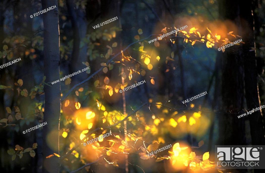 Stock Photo: branch, autumn, beech forest, beech, beam, calf, austria.