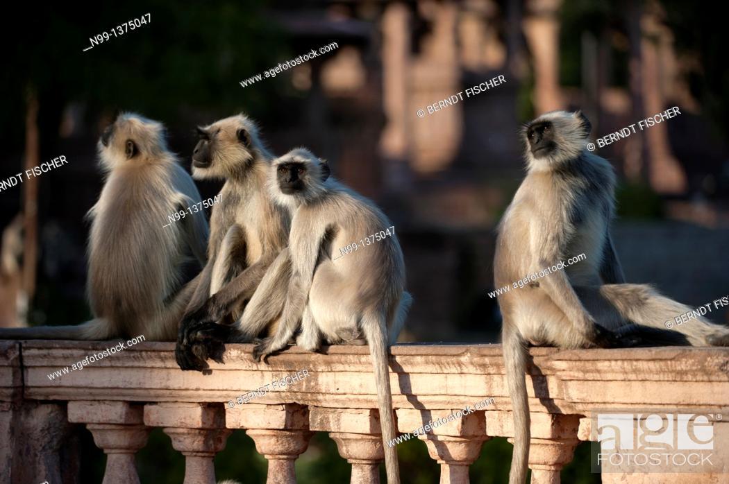 Stock Photo: Hanuman langur Presbytis entellus, Common langur, Grey langur, group sitting on balustrade in front of Mandore temples, Mandore Garden, Jodhpur, Rajasthan.