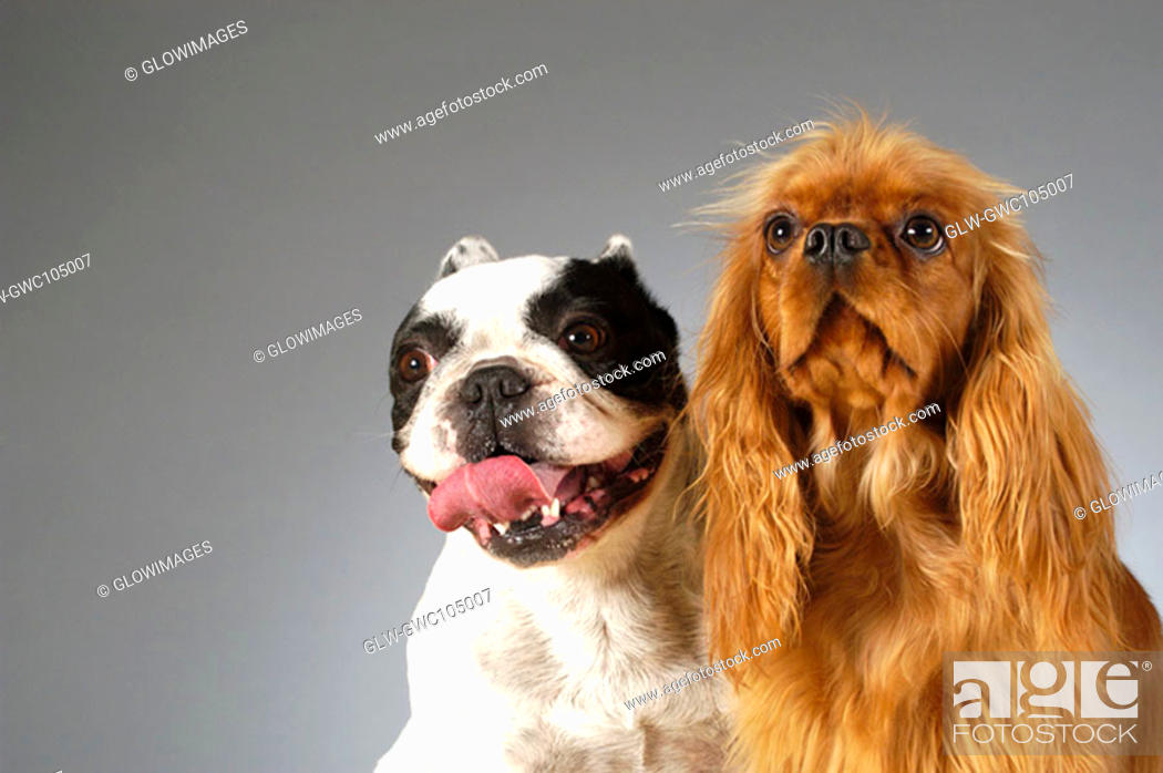Stock Photo: Close-up of a Boston Terrier and a Cocker Spaniel.