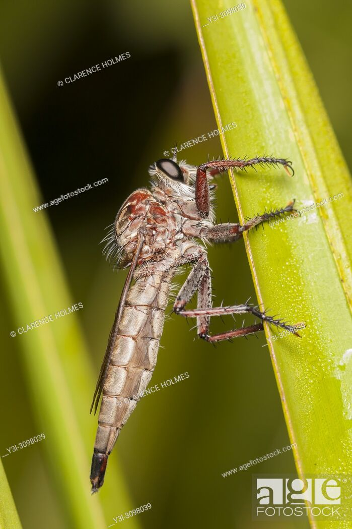Imagen: A femaie Robber Fly (Proctacanthus brevipennis) perches on the side of vegetation.