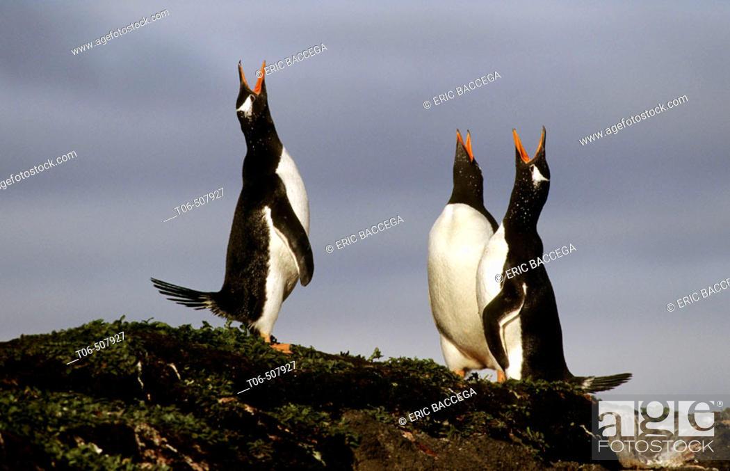 Stock Photo: Three Gentoo penguins displaying (Pygoscelis papua), Kerguelen Island, sub-antarctic.