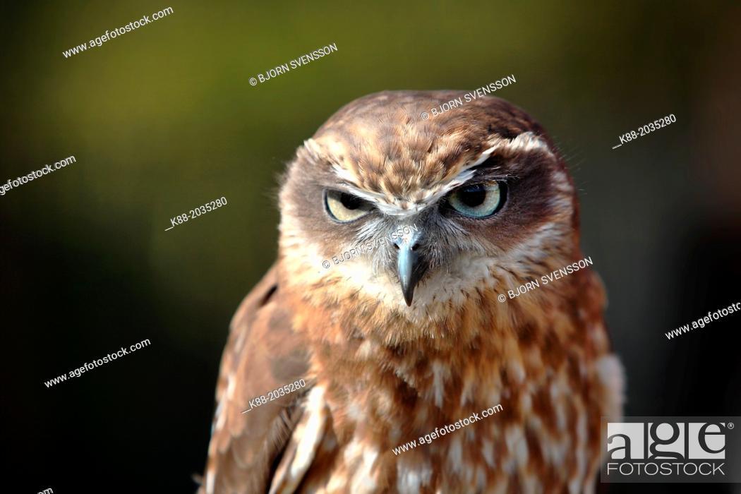 Stock Photo: Southern Boobok Owl(Ninox novaeseelandiae)in captivity. Queensland, Australia.