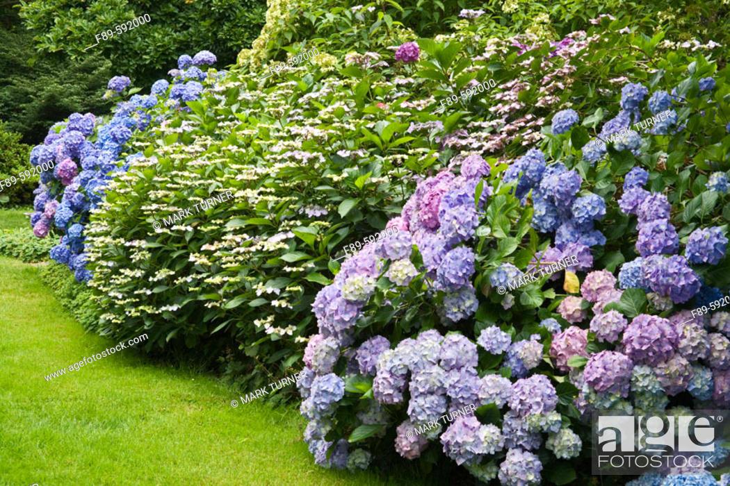 Stock Photo: Massed Hydrangea border [Hydrangea macrophylla 'Niedersachsen'; H. m. 'Heinrich Seidel'; H. m. 'La France'; H. m. 'Strafford']. Van Dusen.