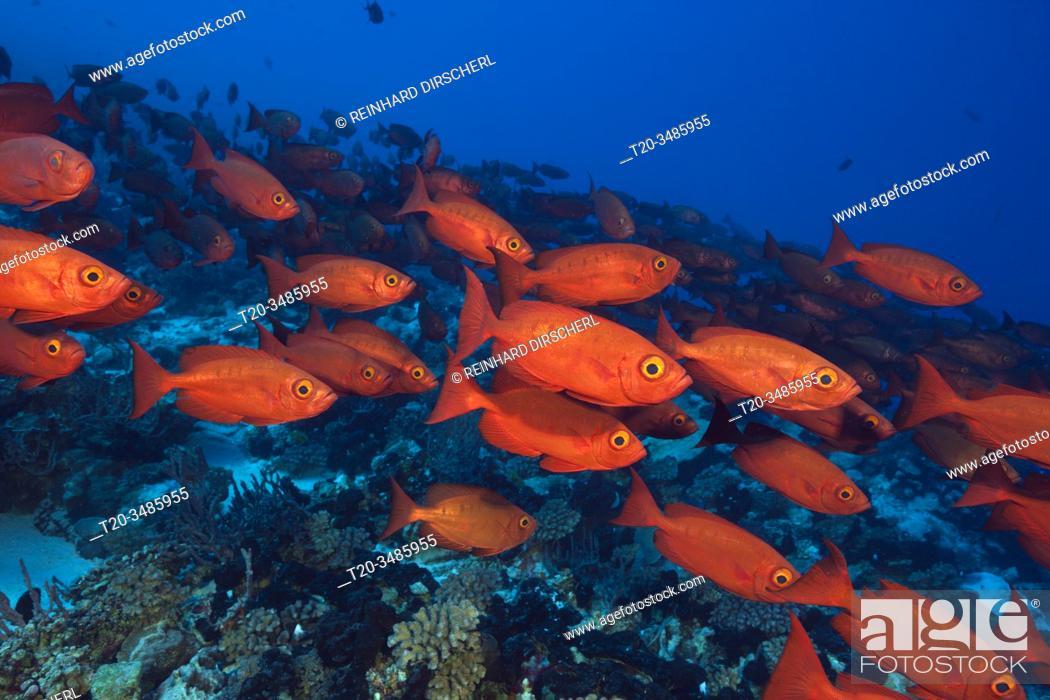 Imagen: Shoal of Crescent-tail Bigeye, Priacanthus hamrur, Fakarava, Tuamotu Archipel, French Polynesia.