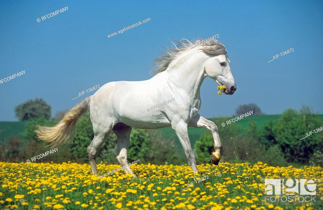 Stock Photo: Andalusian horse on meadow.