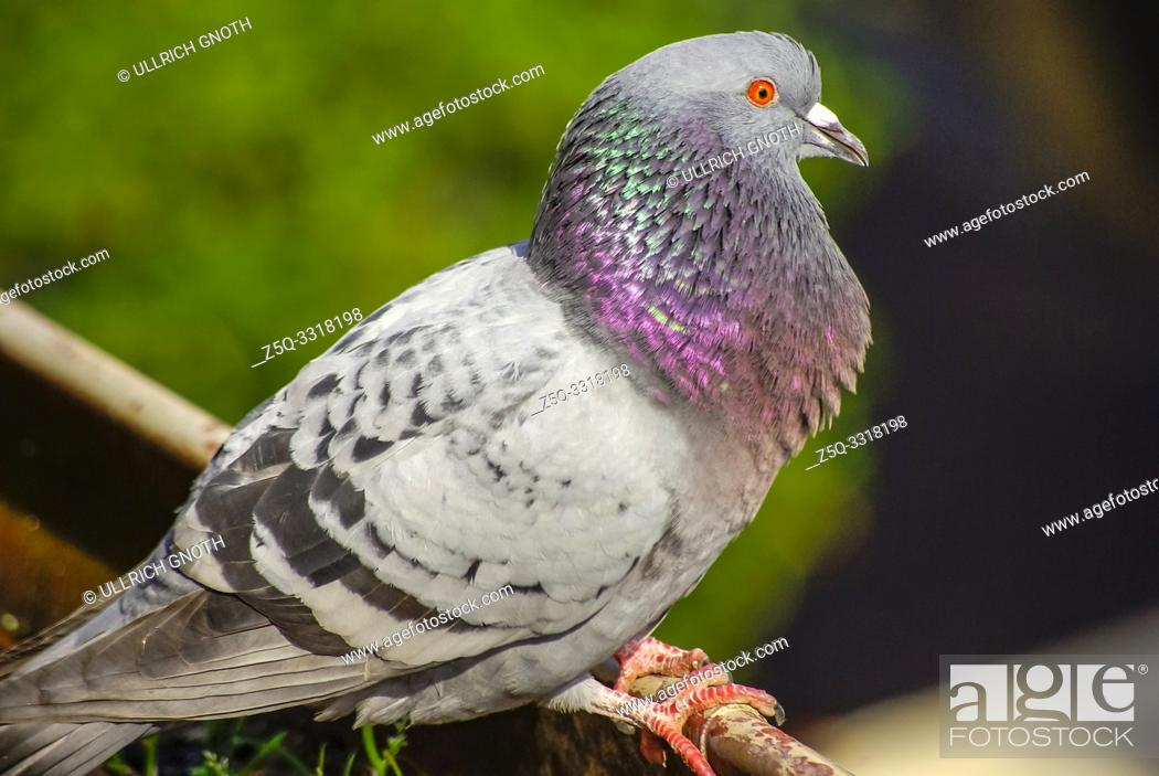 Stock Photo: A pigeon in a rain gutter at the edge of a roof.