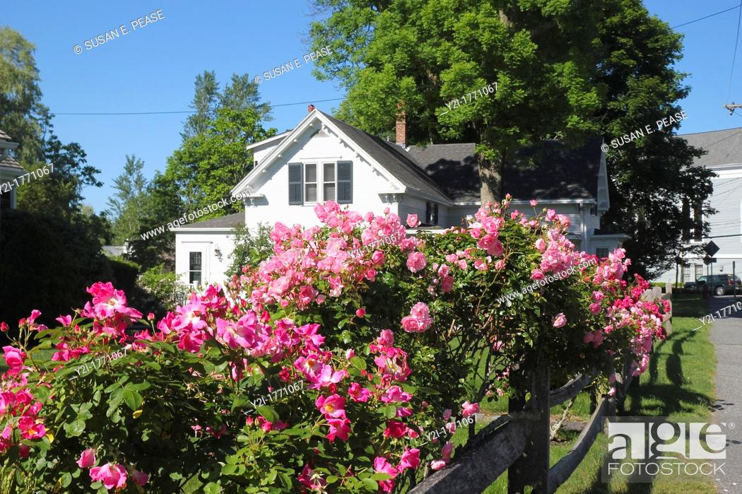 Stock Photo: Roses on a fence in the town of Sandwich, Cape Cod, Massachusetts.