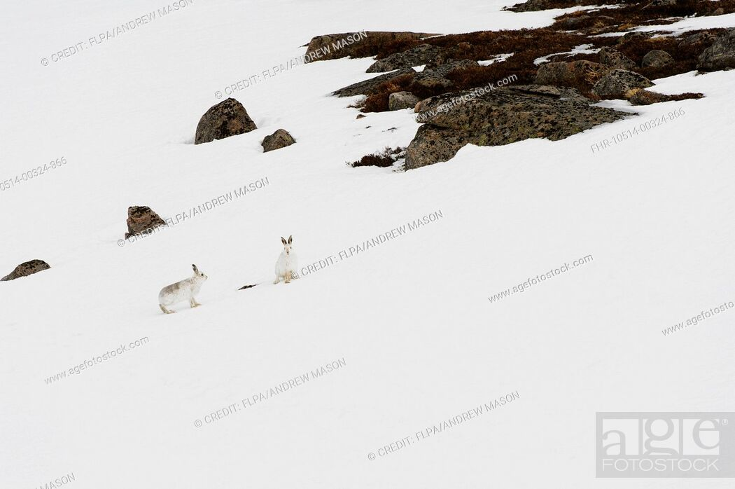 Stock Photo: Mountain Hare (Lepus timidus) adult pair, in winter coat, standing on snow covered slope, Cairngorms N.P., Grampian Mountains, Highlands, Scotland, February.