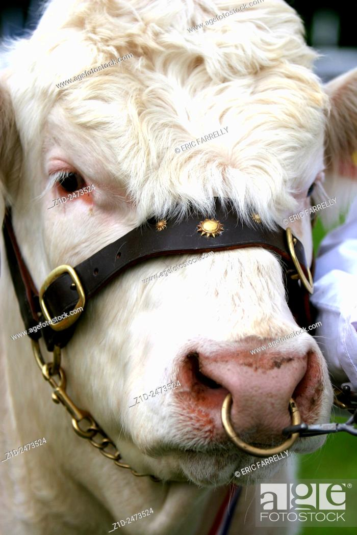 Imagen: Bull being shown during Farming County Show Scotland UK.