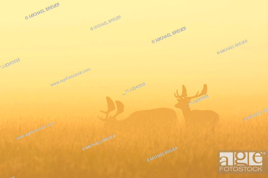Stock Photo: Fallow Deers (Cervus dama) on misty morning at sunrise, Hesse, Germany, Europe.
