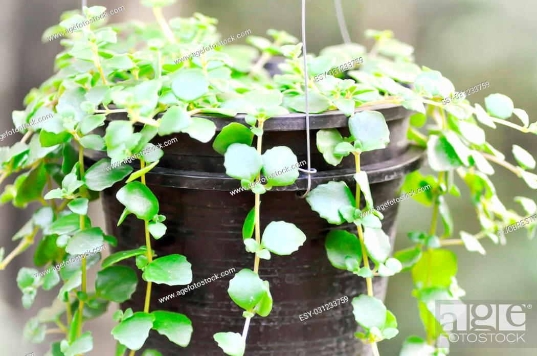 Stock Photo: climber plant in the flower pot.