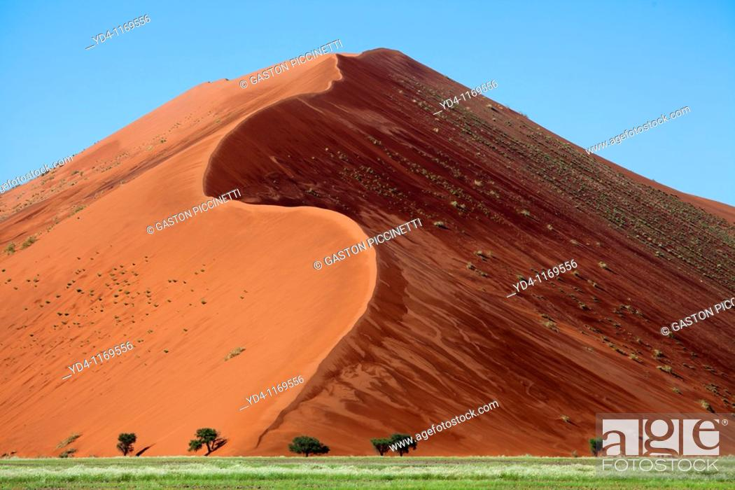 Stock Photo: Camelthorn tree Acacia erioloba, and the dune at the back after rain, Namib-Naukluft National Park, Namib desert, Namibia.
