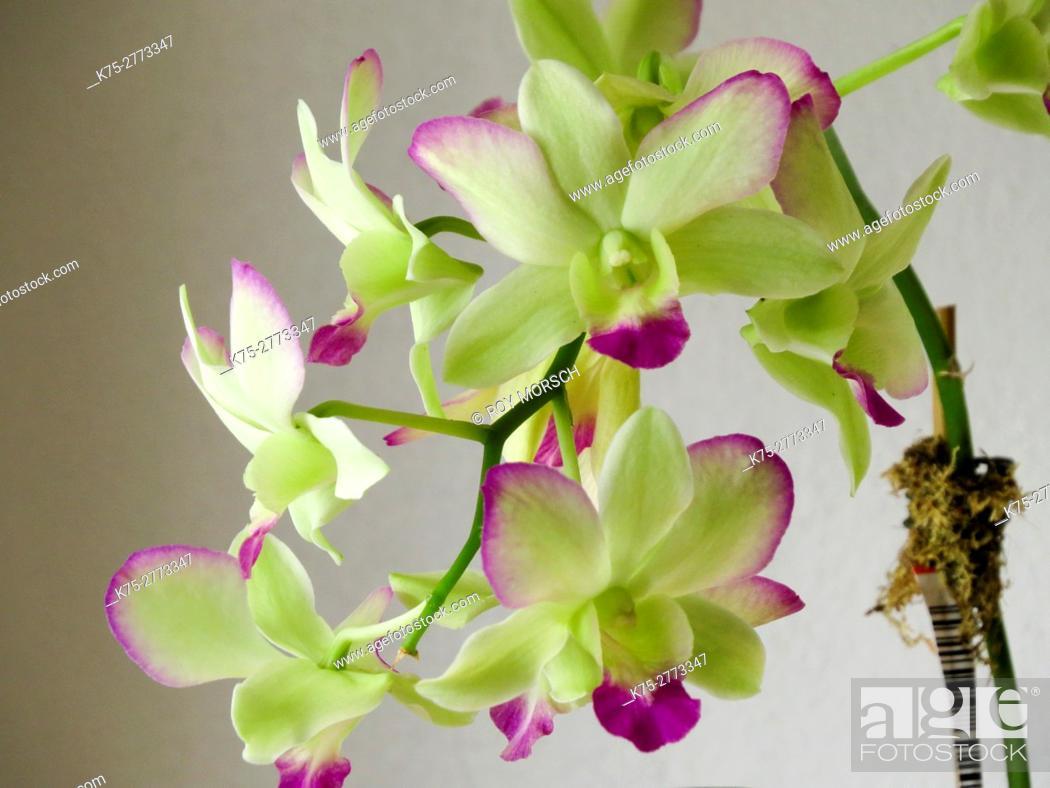 Imagen: Orchid.