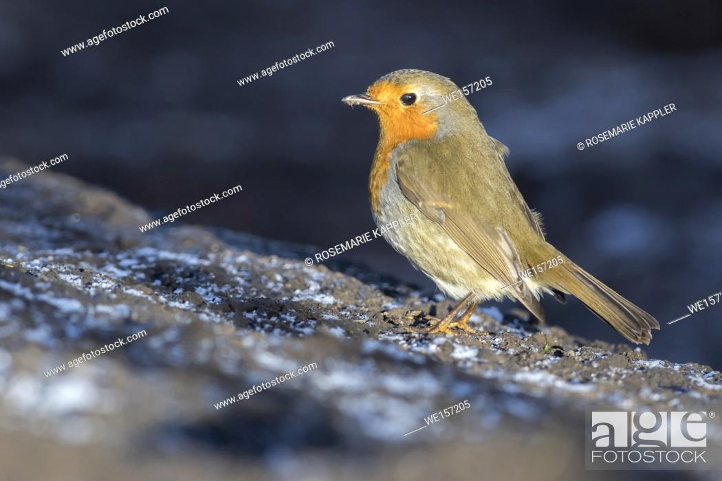 Stock Photo: A robin redbreast is searching for fodder. Germany, Saarland, Homburg.