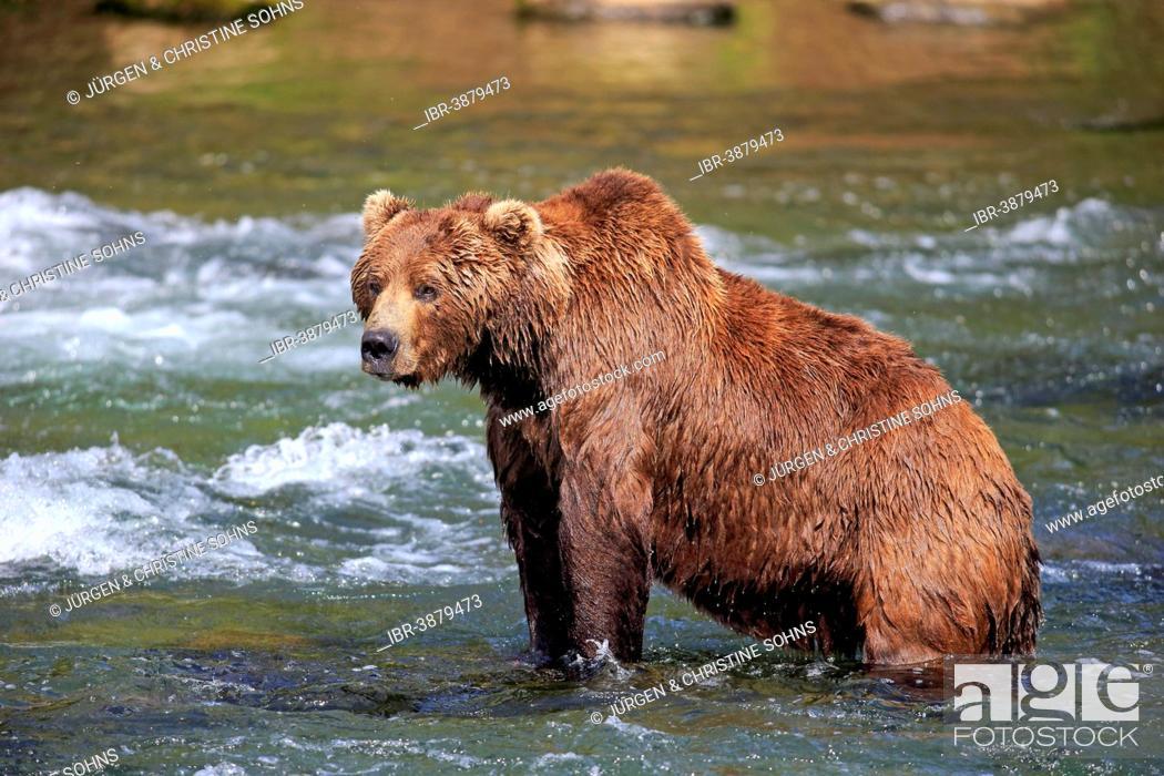 Photo de stock: Grizzly Bear (Ursus arctos horribilis) adult, in the water, Brooks River, Katmai National Park and Preserve, Alaska, United States.