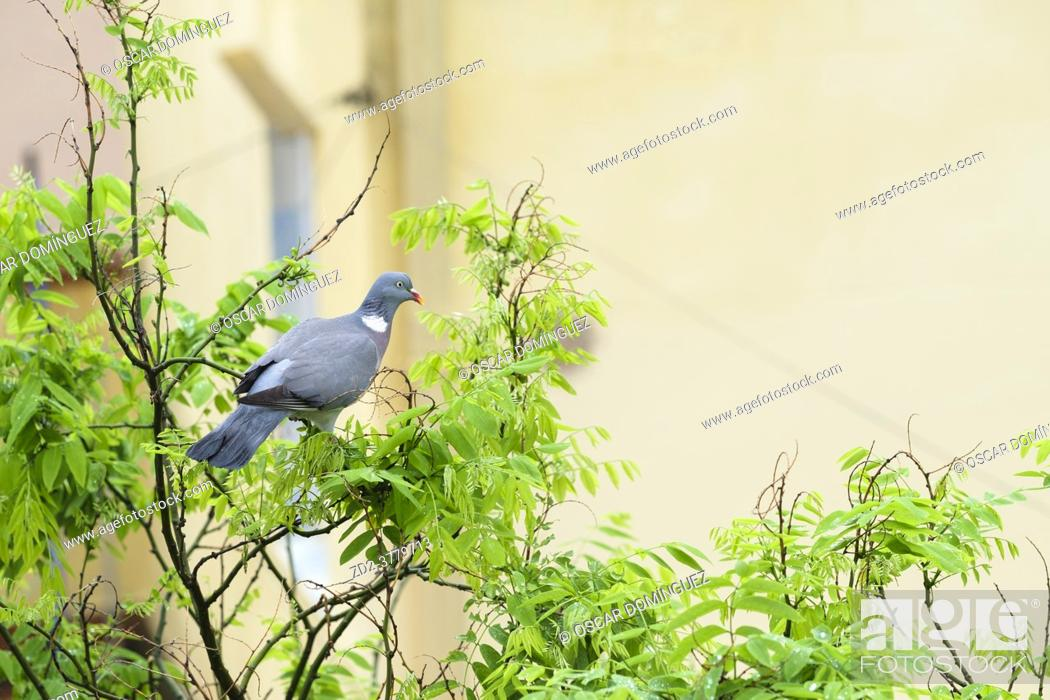 Imagen: Common Woodpigeon (Columba palumbus), adult perched on Japanese pagoda tree (Styphnolobium japonicum). Birds begin to occupy the empty spaces due to the.
