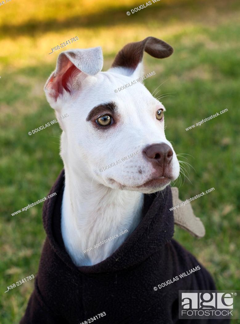 Stock Photo: dog, a pit bull cross.