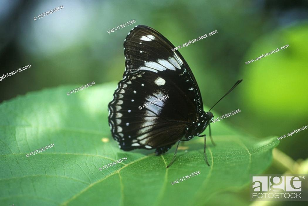 Stock Photo: Close-up of black butterfly, Coconut Creek.