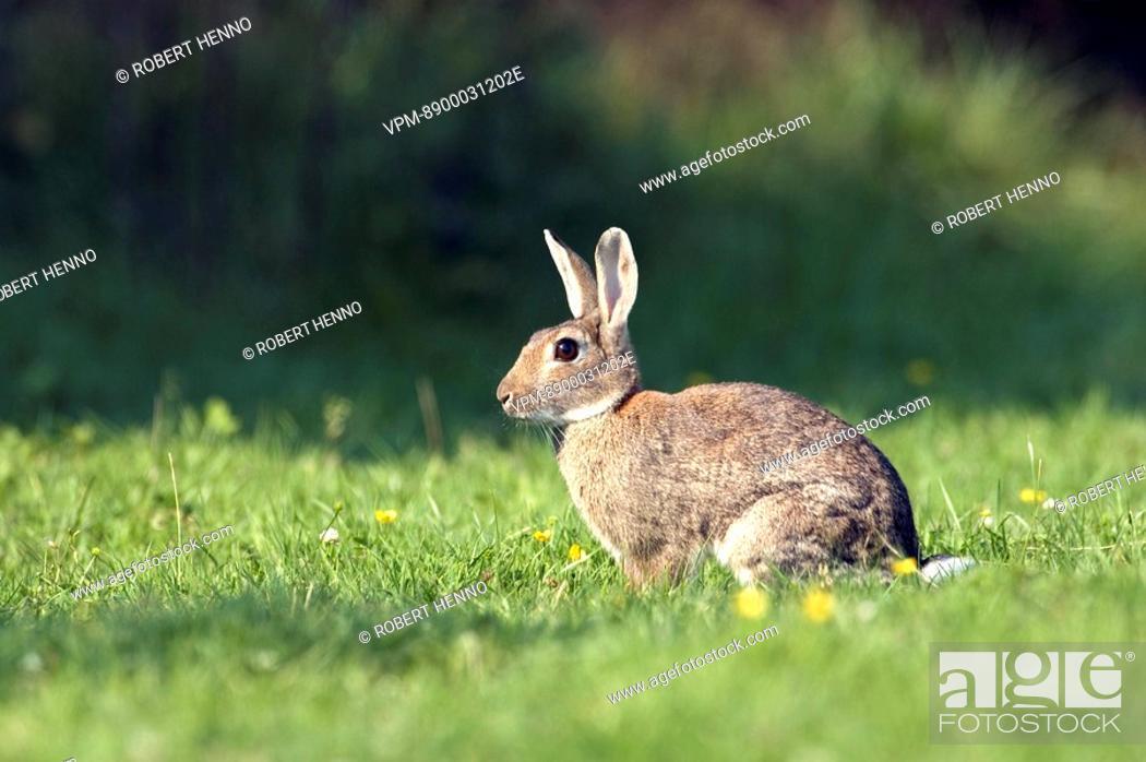 Stock Photo: ORYCTOGALUS CUNICULUSEUROPEAN RABBITIN GRASSGROENENDAEL - BELGIUM.