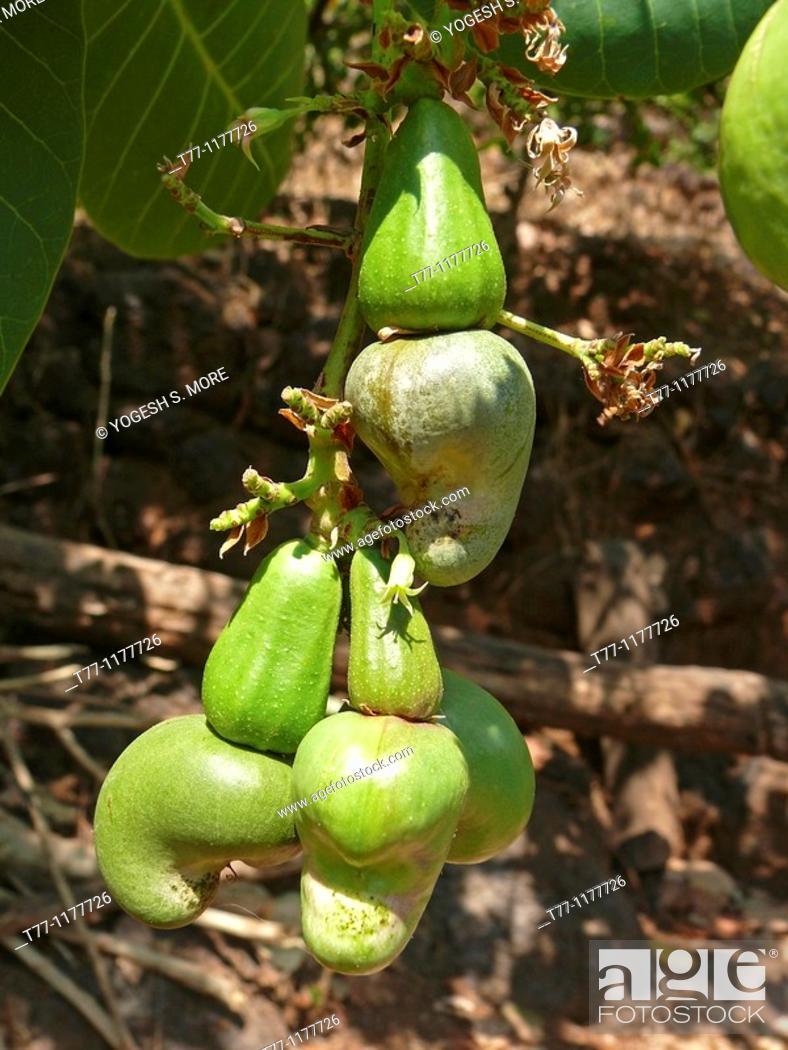 Stock Photo: Green Cashew Nuts, Anacardium occidentale, Ratnagiri, Maharashtra, India.
