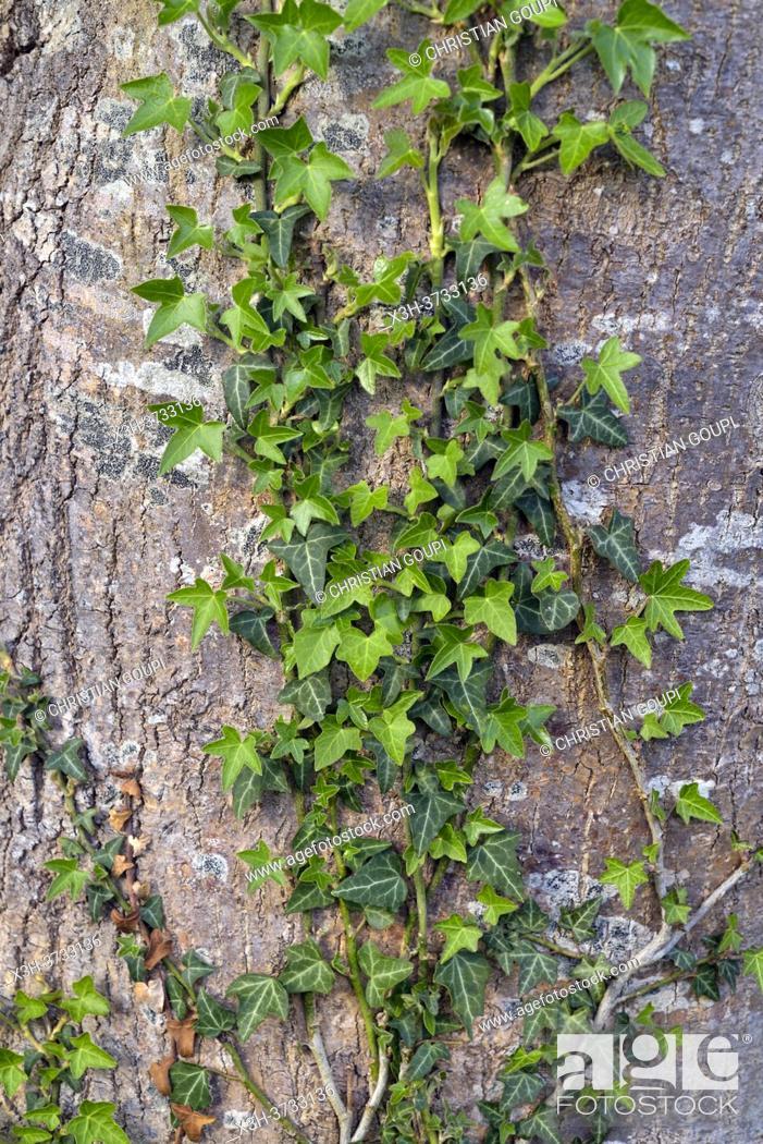Stock Photo: climbing ivy on Populus trunk, Eure-et-Loir department, Centre-Val-de-Loire region, France, Europe.