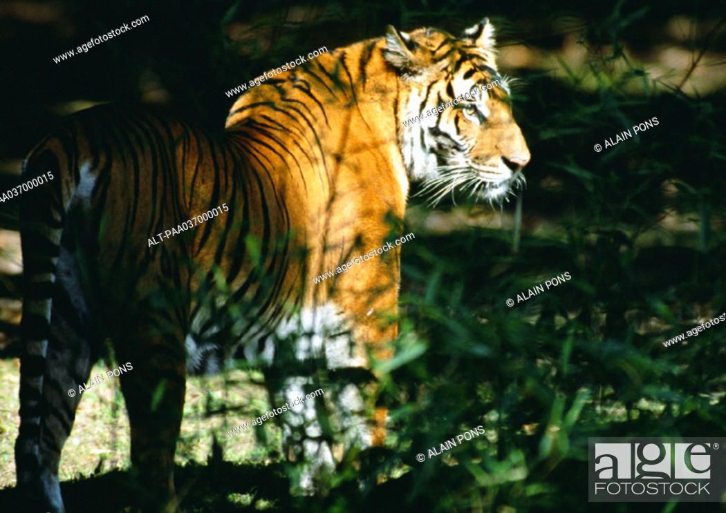 Stock Photo: India, tiger.
